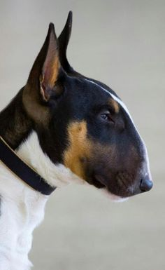 That bull terrier side profile.