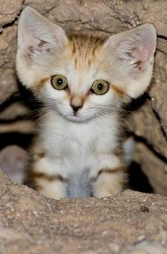 Can we just talk about how adorable this little guy is? Felis margarita/ sand cat