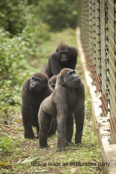Gorillas exploring their new enclosure at the Mefou sanctuary. Ape Action Africa. Photo credit to Ian Bickerstaff