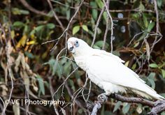 White Parrot@Herdsman Lake, Churchlands, Perth
