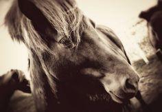 The Icelandic horse - so beautiful! photo via Beers & Beans >> Gorgeous animal