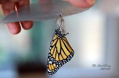 Monarch butterflies are very close to being endangered - learn how to raise eggs and enjoy these beautiful creatures!