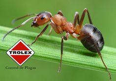Un vistazo al reino de la hormiga.   Las hormigas son  pequeños invertebrados que se encuentran en cualquier parte del mundo, como varias especies de insectos existen varias especies de hormigas que habitan en un sistema ecológicos, las hormigas son insectos que los podemos encontrar en cualquier parte del mundo.
