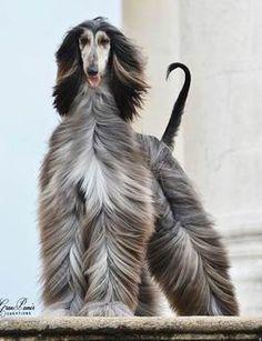 Afghan Hound - Golddragon Kennel