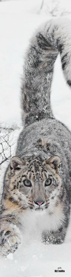 Snow Leopard by Nancy Chalmers