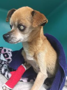 ADOPTED  Torrington Animal Control added 4 new photos. Yesterday at 9:55pm FOUND DOG:  10/3/16  In the area of Panera Bread , East Main Street, Torrington. Any info on this dog, appears to be a older Chihuahua, blind and very thin . Please contact Torrington Animal Control ,if any info on dog or owner: 860-485-9165  tan white