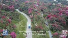 A drone takes you to see the magnificent scenery of miles of blossoming Azalea in Bijie City, southwest China's Guizhou Province.