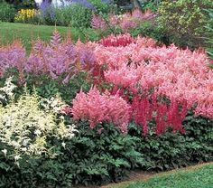Few perennials combine the beauty and durability of Astilbes, which will glorify a shady spot and render carefree service for your lifetime and beyond.