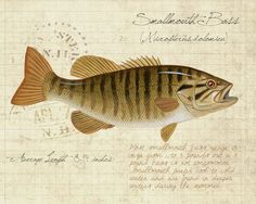 Smallmouth Bass - 8 x10 inch limited edition giclee print by Matt Patterson, natural history, cabin decor, bass fishing paintings