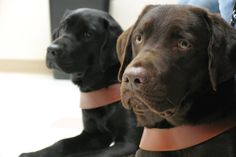 lab guide dogs