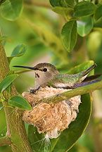 Anna's Hummingbird nesting