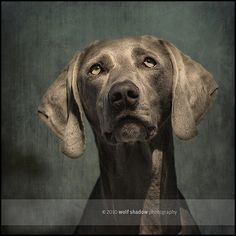 © wolf shadow photography  #dogs #Weimaraner #textures