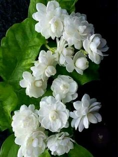 160 Jasmine flower ideas | jasmine flower, jasmine, flowers