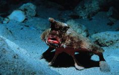 The red-lipped batfish lives in the waters surrounding the Galapagos Islands and are known to be terrible swimmers — they get around by using their fins to walk on the sea floor. The red-lipped batfish makes our list for obvious reasons: they look like they just found their mom's lipstick!