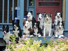 On Target Border Collies - Exclusive