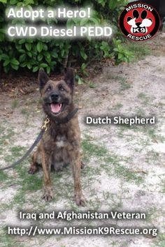 CWD Diesel PEDD is looking for a home! 7 year old Dutch Shepherd. Ok with large female dogs. Not ok with small dogs or kids. Can be a little leash aggressive. Veteran of Afghanistan and Iraq. Transport cost for Diesel is appx. $700 including airfare and large vari kennel.  If you want to adopt Diesel, complete our form at http://www.missionk9rescue.org/adoption-forms