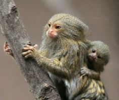 Pygmy Marmoset Monkey with baby (DwergzijdeAapje) Primates, Mammals, Marmoset Monkey, Pygmy Marmoset, Baby Animals, Funny Animals, Cute Animals, Beautiful Creatures, Animals Beautiful