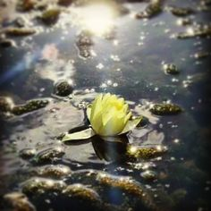 Despite the difficulties, continues to grow. E.M.  #flower #lake #england #nature