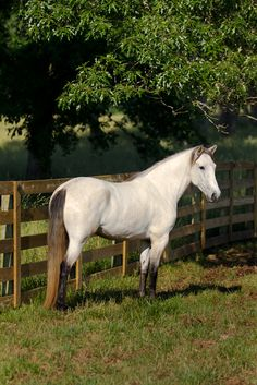 Buttermilk Buckskin ~ Gorgeous!