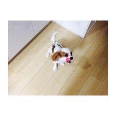 🐶 * * * 食後のペロリ😋😋😋 * * * #キャバリアキングチャールズスパニエル  #キャバリア #ブレンハイム  #キャバリア部  #いぬすたぐらむ #犬 #愛犬  #itsacavthing#cavlife #cavalier #ckcs#cavlove #cavalierkingcharlesspaniel  #cavaliercommunity #instadog #dog #doggy #doglover #lovedog #doglife  #petstagram #pet  #cute #cutedog #mydog  #puppy #pup #happydog #dogs_of_insta