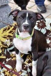 Trip is an adoptable Pit Bull Terrier Dog in Alpharetta, GA. Trip is in a foster home and is just waiting for his forever home. He is 6 months old, had all his vaccinations, is neutered and micro chip...