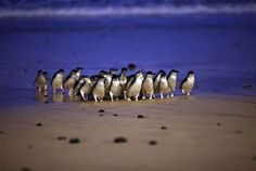 phillip island australia penguin parade - Bing Images