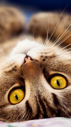 Yellow Eyed Cat