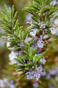 Rosemary – This tough-as-nails shrub, depending on the variety, can be used as a groundcover, mixed border perennial, kitchen garden plant or background/hedge plant. It can even be formally clipped. Herb Garden, Garden Plants, California Garden, Aromatic Herbs, Language Of Flowers, Water Wise, Plantar, Growing Herbs, Pure Essential Oils
