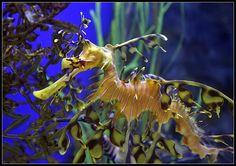 Sea dragons are so facinating