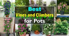 Add a vertical touch in your container garden by growing climbing plants for containers. Must see these 24 best vines for pots. Climbing Shade Plants, Climbing Flowers, Climbing Vines, Balcony Plants, Balcony Garden, Outdoor Plants, Garden Pots, Garden Ideas, Container Flowers