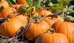 We Don't Just Grow Pumpkins…We Grow Memories! Visit our Pumpkin Farm this Fall for Pumpkin Fest! Basse's Taste of Country. Pumpkin Patch San Diego, Pumpkin Patch Near Me, Pumpkin Patches, Pumpkin Farm, Best Pumpkin, Pumpkin Carving, Carving Pumpkins, Pumpkin Puree, Halloween Pumpkins