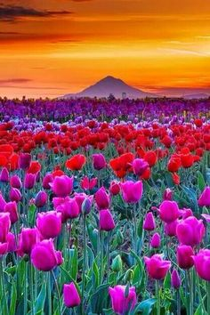 Sunrise in Woodburn Tulip Fields, Oregon---love to visit for the spectacular scenery and the quite reasonable tulips, which I always buy by the armful. Beautiful World, Beautiful Places, Beautiful Sunset, Tulip Fields, Field Of Tulips, Belle Photo, Amazing Nature, Pretty Pictures, Amazing Pictures