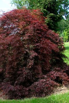 One of the oldest Japanese maple varieties, cultivated in Japan since Tamukeyama has stood the test of time for very good reason. Recognized by. Tamukeyama Japanese Maple, Japanese Maple Varieties, Buy Trees Online, Emerald Green Arborvitae, Maidenhair Tree, Garden Soil, Gardening, Large Plants, Types Of Soil