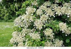 Bildresultat för hydrangea anomala ssp. petiolaris