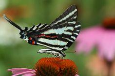 It's A Zebra butterfly