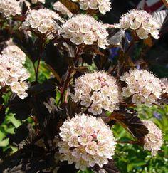 Physocarpus opulifolius 'Summer Wine' アメリカコデマリ 'サマーワイン'