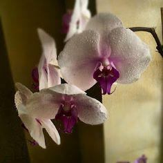 Orquídea #flores #orquidea