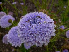 Didiscus caerulea by entireleaves, via Flickr.  It is an Australian annual and is very drought tolerant, and while it was super easy to grow from seed, it did take them about six months to bloom. They are amazing as a cut flower lasting about two weeks in a vase.