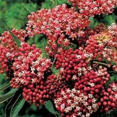 Outsidepride Butterfly Weed Carmine-rose - 500 Seeds by Outsidepride: Flower Seed. $4.99. Sowing Rate: 4 seeds per plant. USDA Zones: 3 - 8. Season: Perennial. Bloom Color: Rose. Height: 24 - 48 inches. This cousin of Butterfly Weed blooms the first year and tolerates heat, humidity, and even drought! Asclepias is fragrant, colorful, and carefree! A magnet for butterflies, Cinderella is one of the easiest, most adaptable plants you will ever grow. Just toss the ...