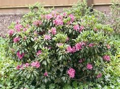 Daphnoides Rhododendron  NEEDS WATER?