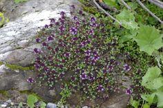 Arznei-Quendel, Thymus pulegioides