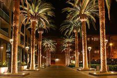 San Jose California palm tree