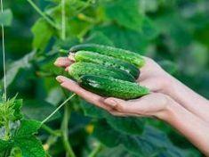 Ha idén is vetettél uborkát, erről mindenképp tudnod kell, nagy hasznodra lesz majd!