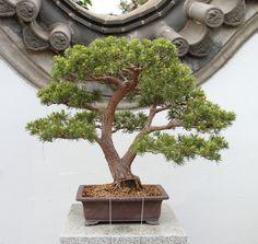Bonsai Ficus, Bonsai Art, Miniature Trees, Tree Art, Planter Pots, Miniatures, Shapes, Gardens, Plants