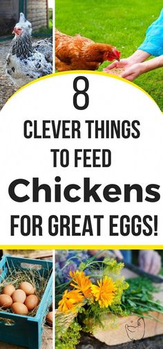 Your backyard chickens lay eggs....but are you feeding your backyard chickens right? Here's 8 things clever feed hacks for better eggs beginner backyard chicken owners need to know about! owners feed their chickens! #backyardchickens #homesteading #chickencoop