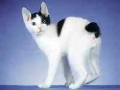 These Are 15 Pictures About Cat Breeds Japanese Bobtail - Pets Lovers Japanese Bobtail, Japanese Cat, American Wirehair, Gato Bobtail, Gatos Cool, Pets Movie, Animal Antics, Pet Fox, Here Kitty Kitty