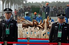 Customs officers stood guard in front of illegal ivory as it was destroyed in Dongguan...China standing against ivory