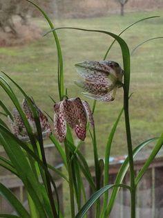 snakeshead fritillaries (fritillaria meleagris)
