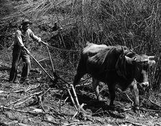 Farmer with ox pulling plow in field, Cumberland, Middlesboro, Kentucky.