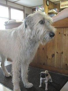 Large Irish Wolfhound vs Tiny Little Pug Irish Wolfhound Dogs, Scottish Deerhound, Huge Dogs, Irish Terrier, Irish Setter, Dogs And Puppies, Doggies, Beautiful Dogs, Pets